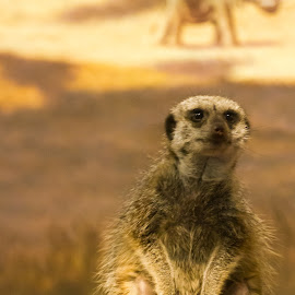 Meerkat 1 by John Guest - Animals Other ( miller park, zoo, exported, meerkat, animal )