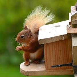 Red Squirrel by Angie FailliePhotos - Animals Other ( animals, nature, wildlife, nature photography )