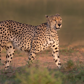 The Speedster by Clive Wright - Animals Other Mammals ( wild, cheetah, cat, kruger, mammal, animal )