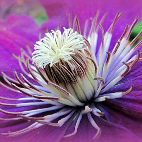 The Inner Beauty of a Clematis by Tina Dare - Flowers Flowers in the Wild ( macro, close up, clematis, color, nature, up close, purple, flower,  )