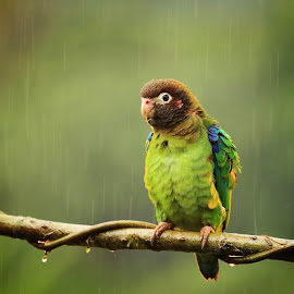 Waterproof by Tadas Jucys - Animals Birds ( parrot, costa rica, drops, brown, hooded, light, rain )