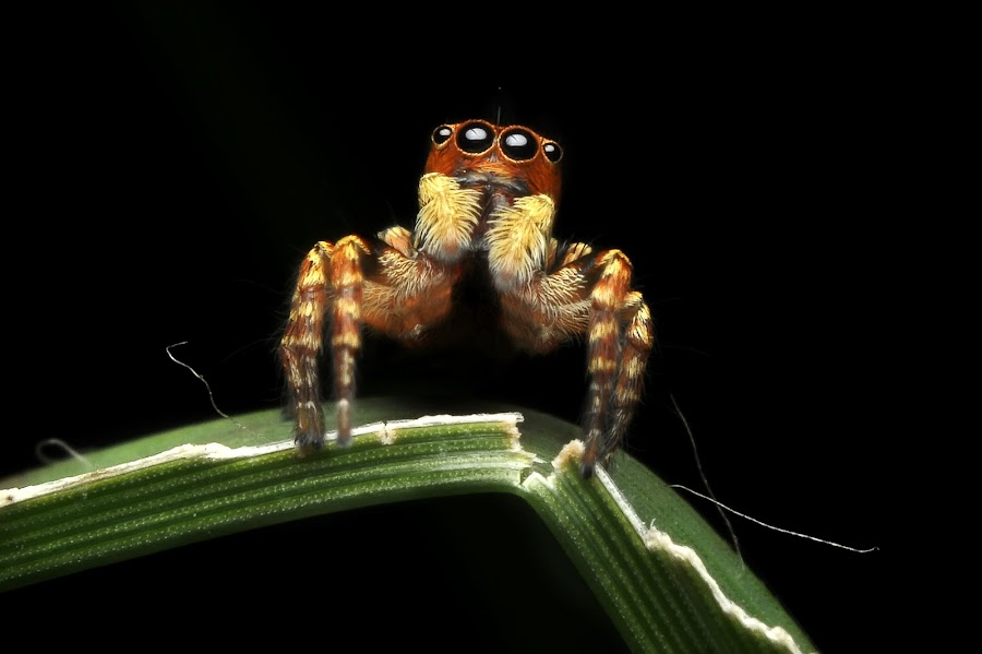 Macro Jumper Spider by Fairuzee Ramlee - Animals Insects & Spiders ( macro, spider, small, close up, jumper )