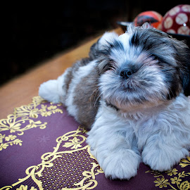 Meet THOR by Jen Ignacio - Animals - Dogs Puppies