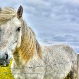 Icelandic Horse by Steve Rogers - Animals Horses ( iceland, equine, horse, avalon-art )