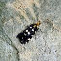 Euplocamus tineoid moth