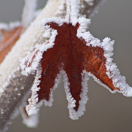Frosted Border  by Tony Huffaker - Nature Up Close Leaves & Grasses ( hoar, tree, frost, leaf, border )