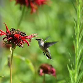 Ruby Throated Hummingbird by Marie Brown-Serrazina - Animals Birds ( nature, hummingbird, #birds, summer, beebalm )