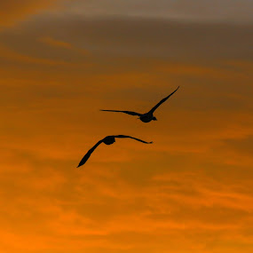 Morning Geese by Todd Ratisseau - Animals Birds ( geese sky sunrise oregon  beauty, s.oregon, sky, silouhette, geese )