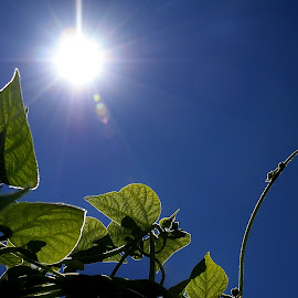Green Beans Reaching for the Sun by Randy Young - Nature Up Close Gardens & Produce