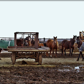 Running Scared by Yvonne Collins - Animals Horses ( amish, animals, mud, horses, scared, running )