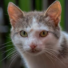 by Dragan Rakocevic - Animals - Cats Portraits