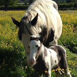 by Jo Thomas - Animals Horses ( mare, birthday, buttercups, colt, horse, foal,  )