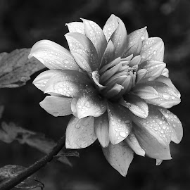 Dahlia  by Asif Bora - Black & White Flowers & Plants