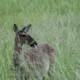 Deer Look by Thomas Shaw - Animals Other Mammals ( mammals, field, grass, tennessee, ears, fur, nose, cades cove, smoky mountains, animal, deer )
