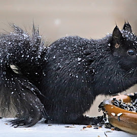 Snow Hunger by Terry Saxby - Animals Other Mammals ( canada, terry, goderich, ontario, saxby, nancy, squirrel )