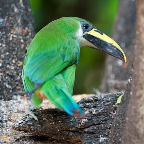 Little toucan in green color by Cristobal Garciaferro Rubio - Animals Birds ( branch, toucan, birde, little toucan green toucan )