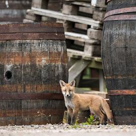 Whisky Galore by Charlie Davidson - Animals Other Mammals ( whisky, mammals, nature, wild, fox, scotland, wildlife )