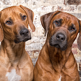 Two Rhodesian Ridgebacks by Linda Johnstone - Animals - Dogs Portraits ( ridgebacks, studio, rhodesian ridgeback, pet photography, dogs )