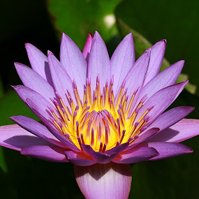by Bharat Dudeja - Nature Up Close Flowers - 2011-2013 ( lotus, nature, petals, nymphaeaceae, water lily, pond, flower, watter lilies,  )