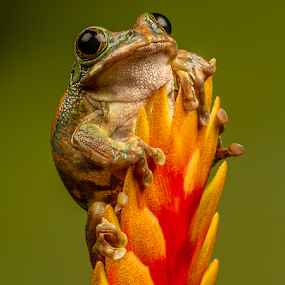Peacock Tree Frog  by Sandra Cockayne - Animals Amphibians ( peacock tree frog, critters, warts, frog, froggy, tree frog, creatures, sandra cockayne, amphibian, wildlife, sandi cockayne, eyes,  )