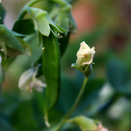 Pea pod by Lakshmi Sharoff - Nature Up Close Gardens & Produce ( nature, harvest, garden, peas, pod )