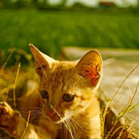 Kitten ply by Rahman Hanifan - Animals - Cats Kittens