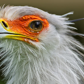 Secretarybird by Friedhelm Peters - Animals Birds ( zoo, tiere )