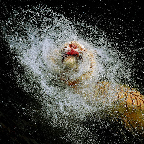Tiger Splash by Alit  Apriyana - Animals Other Mammals