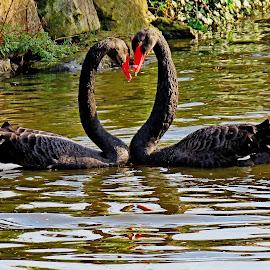 Valentine Heart by John Harbach - Animals Birds (  )