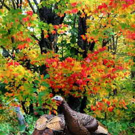 Wild Turkeys Autumn Maple Trees by Robin Amaral - Uncategorized All Uncategorized ( vibrant, autumn colors, nature up close, birds, outdoor, maple leaves, maples, new england, daylight, turkey, healthy, autumn leaves, nature photography, free range, wild turkeys, wildlife )