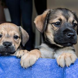 Puppies by Martyn Clarke-Jones - Animals - Dogs Puppies ( pet, puppy, cute, dog, animal )