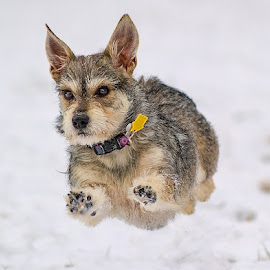 Flying Max by Morgan Baumgartner - Animals - Dogs Playing ( puppies, dogs, snow, terrier, puppy )