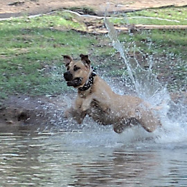 leaping by Karen Goeman - Animals - Dogs Running ( water, splash, action, dog )