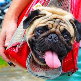 Long tongue by Kelvin Đào - Animals - Dogs Portraits ( red, tongue, bag, dog, head )