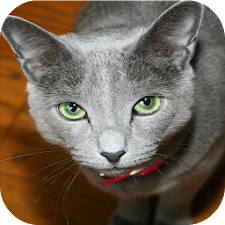 Russian Blue Cats Wallpapers