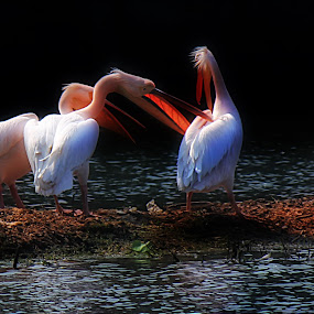 Pelicans by Saeed Shoummo - Novices Only Wildlife
