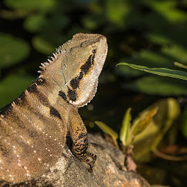 Basking lizard by Allan Williams - Animals Reptiles ( #animal #australiaanimal #wildlife #queensland #reptile )