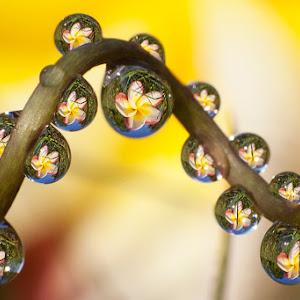 frangipaniDrops.jpg