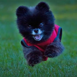Here comes Munchie by Sue Delia - Animals - Dogs Running ( pet, dog, running, pomeranian,  )