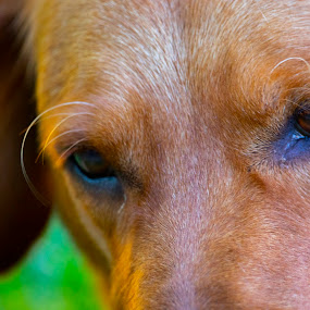 Dog in the distance by Karoner Gaming - Animals - Dogs Portraits ( labrador, golden retriever, looking, dog, cute )