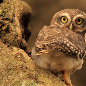 The Spotted Owlet's glare... by BhanuKiran BK - Animals Birds ( look, spotted, sharp, glare, eyes, carnivorus, bird, hunter, owlet, looks, owl, ngc, glaring,  )