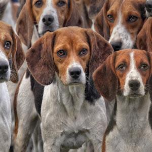 Beagle - Meute 2967.jpg