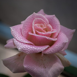 Pink Rose with Dew by Gunbir Singh - Flowers Single Flower ( rose, pink, pink rose, gunbir, pink rose with dew, flower, flower with dew )