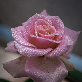 Pink Rose with Dew by Gunbir Singh - Flowers Single Flower ( rose, pink, pink rose, gunbir, pink rose with dew, flower, flower with dew,  )