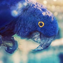 Blue Macaw by Robert Mullen - Digital Art Animals ( bird, parrots, parrot, blue macaw, macaw )