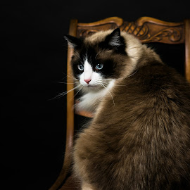Titus by Bob White - Animals - Cats Portraits ( love, ragdoll, ragdoll cat, picoftheday, cat, longhair, portrait )