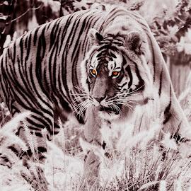by Zibbies Du Toit - Animals Lions, Tigers & Big Cats (  )