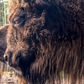Emperor of the Forest by Stanley P. - Animals Other ( animals, bison )