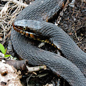 banded water snake
