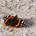 Red Admiral; Vanesa